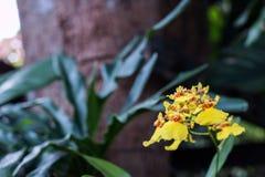 Oncidium orkidéblommor Arkivbilder