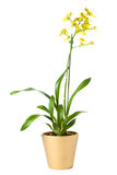 Oncidium overig orchidee Stock Photo