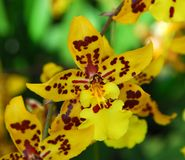 Oncidium Yellow brown Orchid flower. In bloom in spring Stock Image