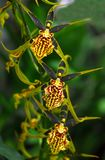 Oncidium Yellow brown Orchid flower. In bloom in spring Stock Images