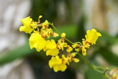 Oncidium yellow Orchid in garden. Oncidium, abbreviated as Onc. in the horticultural trade,[2] is a genus that contains about 330 species of orchids from the Stock Photo