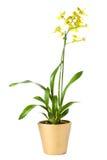 oncidiumorchideeoverig Arkivfoto
