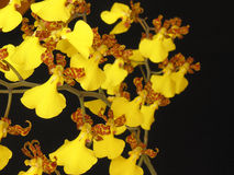 oncidiumorchidsplendidum arkivfoton