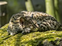 Oncilla, Leopardus tigrinus,睡觉在树干 库存图片