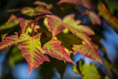 Oncoming Colour. Fall colours starting to show on trees in Ontario Stock Photos
