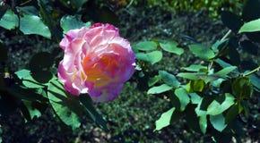 Ond de la rosa del rosa el fondo verde fotos de archivo libres de regalías
