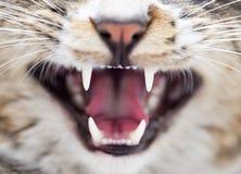 Ond katt för tänder som bakgrunden Makro arkivbilder