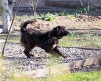 Ond svart hund royaltyfria foton