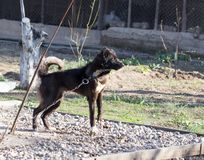 Ond svart hund royaltyfri bild