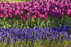 Onda de los tulipanes y del muskara violetas en el parque Foto de archivo