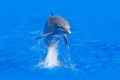 Onda de oceano com animal Golfinho de Bottlenosed, truncatus do Tursiops, na água azul Cena da ação dos animais selvagens da natu Foto de Stock