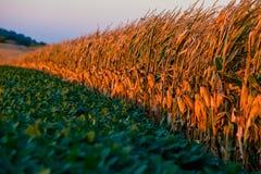 Onda del maíz Imagen de archivo libre de regalías