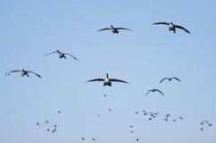 Onda después de la onda de los gansos de Canadá que vuelan en cielo azul Foto de archivo