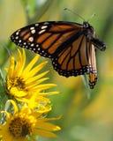 Onda do monarca em voo Imagem de Stock Royalty Free