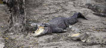 onda krokodiler på lantgården Royaltyfri Foto