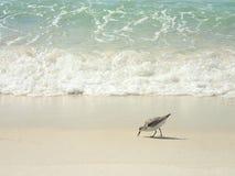 Onda verde de mar que se rompe en la playa de ciudad de Panamá con el pájaro fotos de archivo