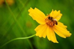 Onda y abeja de oro 2 Imagen de archivo