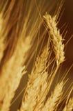 Ondas ambarinas da grão Imagem de Stock