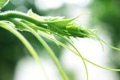 Ondas da videira de melão da natureza Foto de Stock Royalty Free