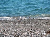 Ondas en una playa rocosa Gaviotas de los pájaros Foto de archivo libre de regalías
