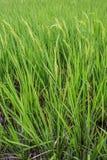 Onde del giacimento di grano mobili dalla natura del vento di estate Fotografia Stock