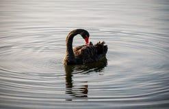 Onde di acqua e del cigno nero Fotografie Stock Libere da Diritti