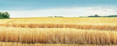 Onde di grano Fotografie Stock Libere da Diritti