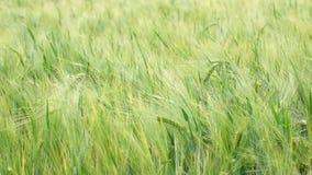Onde di grano verde nel campo video d archivio