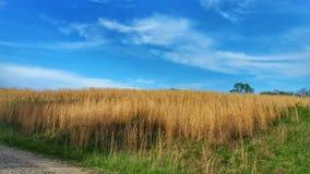 Onde dorate di grano Fotografia Stock Libera da Diritti