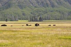 Onde o búfalo vagueia Foto de Stock Royalty Free