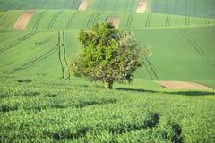 Onde verdi dei campi e di grande albero Fotografia Stock