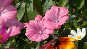 Ondeggiamento dei fiori di Rosea del Alcea della malvarosa nel vento stock footage