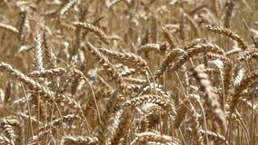Ondeggiamento del raccolto del grano stock footage