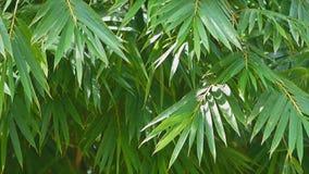 Ondeggiamento della foglia di bambù archivi video