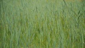 Ondeggiamento fresco dell'erba verde stock footage