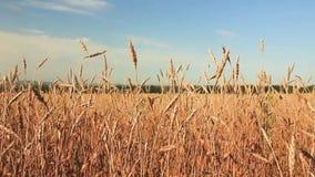 Ondeggiamento giallo del grano delle orecchie nel vento, video d archivio