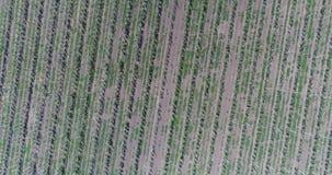 Ondeggiamento giallo del grano delle orecchie nel vento, il campo del fondo delle orecchie mature di grano, raccolto video d archivio