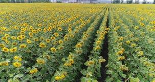 Ondeggiamento giallo del grano delle orecchie nel vento, il campo del fondo delle orecchie mature di grano, raccolto stock footage