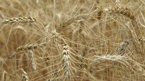 Ondeggiamento giallo del grano delle orecchie nel vento, il campo del fondo delle orecchie mature di grano, raccolto, grano che c stock footage