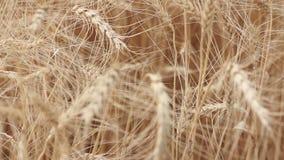 Ondeggiamento giallo del grano delle orecchie nel vento, il campo del fondo delle orecchie mature di grano, raccolto, grano che c video d archivio