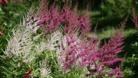 Ondeggiamento rosa dei fiori nel vento archivi video