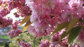 Ondeggiamento rosa del fiore di ciliegia nel vento video d archivio