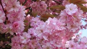 Ondeggiamento rosa del fiore di ciliegia nel vento archivi video