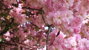Ondeggiamento rosa del fiore di ciliegia nel vento stock footage