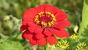 Ondeggiamento rosso del fiore di zinnia nel vento archivi video