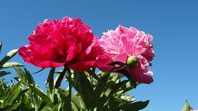 Ondeggiamento rosso e rosa del giardino della peonia del cespuglio stock footage