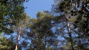 Ondeggiamento verde dei pini contro il cielo blu archivi video