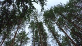 Ondeggiando nelle cime del pino del vento stock footage