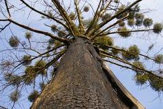 Onder boom met gebrande schors Stock Foto