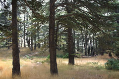 Onder Cedar Trees, Libanon Stock Fotografie